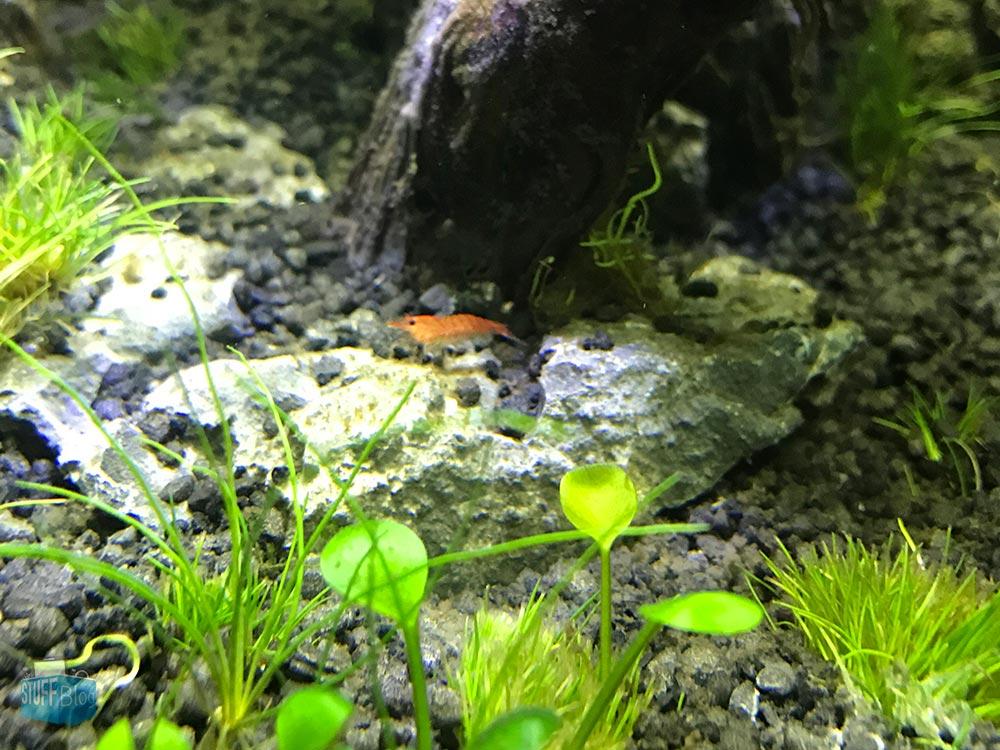 Red Fire Garnele